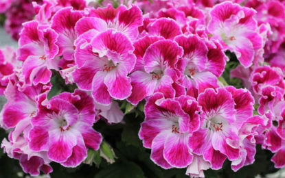 Martha Washington Geranium at Musselman Wholesale , PA