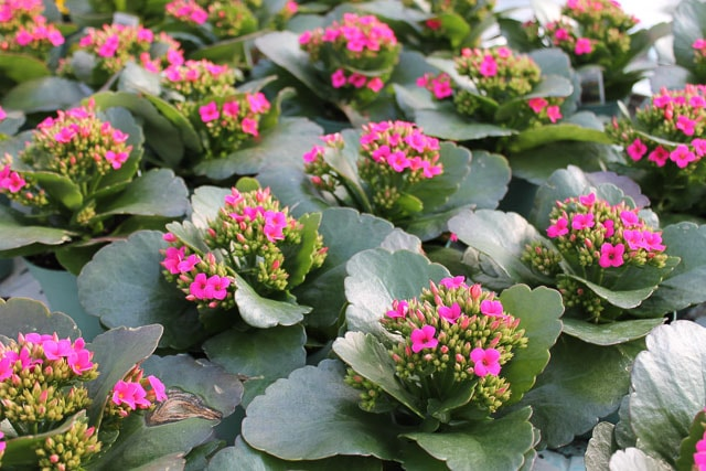 Crazy for Kalanchoes on solanum blooming plant, orchids blooming plant, kalanchoe blooming time, violet blooming plant,